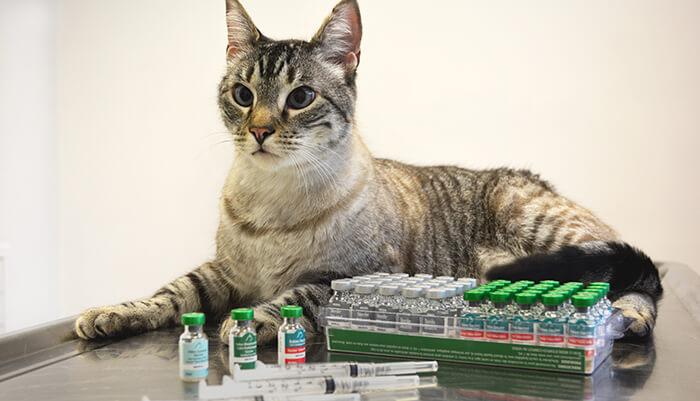 Các loại vắc xin có thể tiêm phòng cho mèo