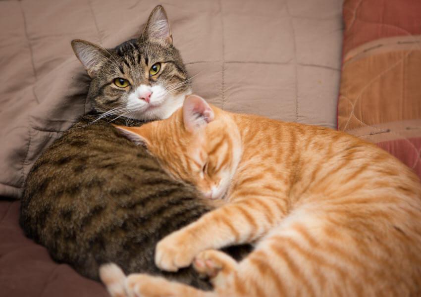 Lây bệnh mèo cào giữa mèo với mèo