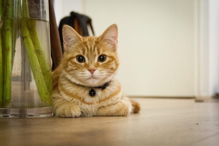 Mèo nuôi