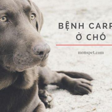 Bệnh Carré ở chó