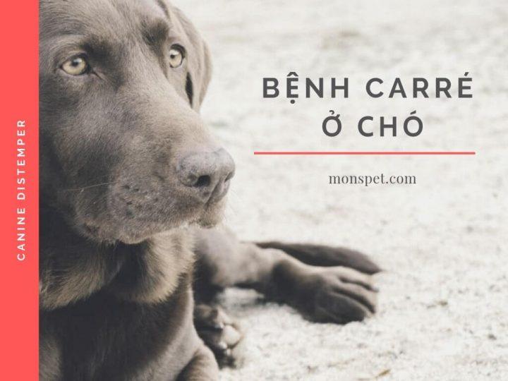 TỪ A – Z VỀ BỆNH CARRÉ Ở CHÓ (Canine Distemper)