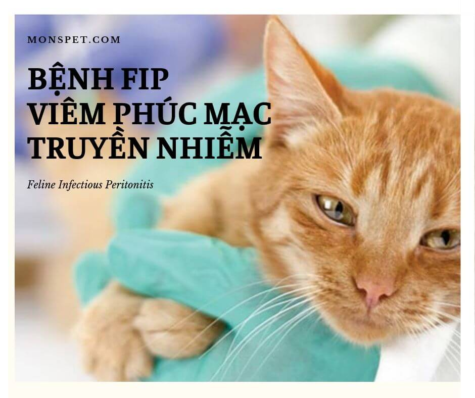 Feline Infectious Peritonitis (Bệnh FIP) – Viêm phúc mạc truyền nhiễm