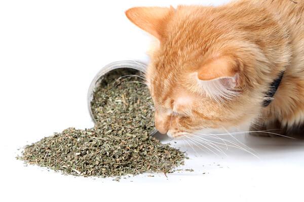 10 Điều thú vị về catnip (Bạc hà cho mèo)