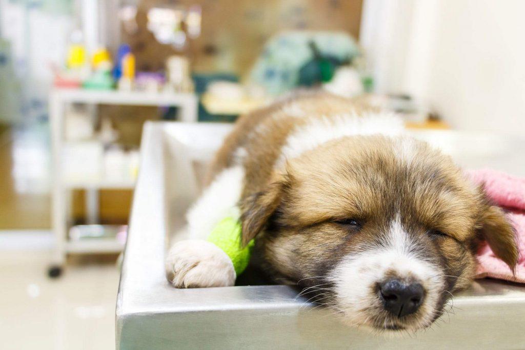 Biểu hiện Virus Parvo ở chó