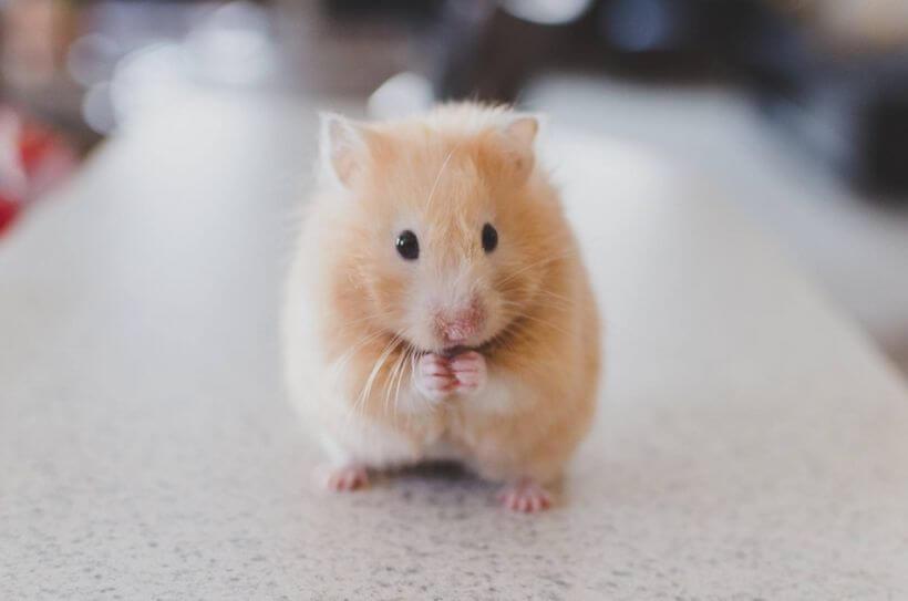 Cách chọn 1 chú hamster