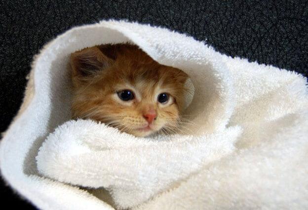 Cách vệ sinh cho mèo con