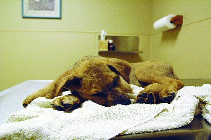 Điều trị Virus Parvo ở chó