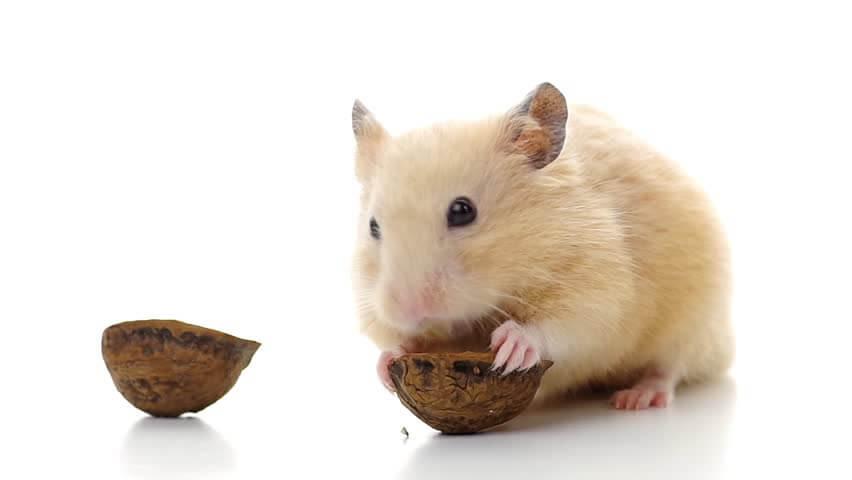 Vấn đề khi chăm sóc hamster