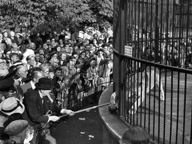 Winston Churchill sử dụng cây sào dài để cho sư tử Rota ăn trong chuyến thăm Sở thú Luân Đôn năm 1947