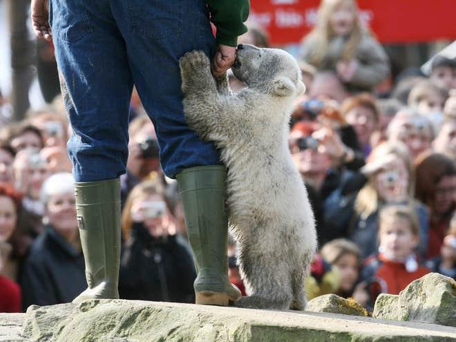 Knut Chú gấu bắc cực con ở Berlin. Mặc dù động vật nhỏ rất dễ thương, nhưng thực tế cuộc sống của chúng không phải như vậy