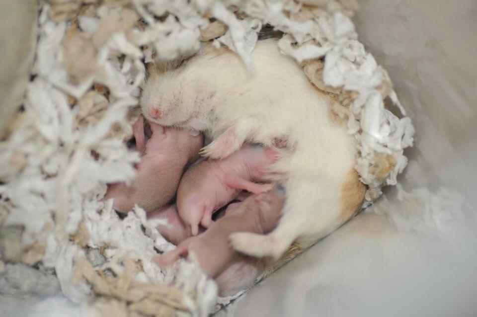 Lý do hamster ăn con của chúng