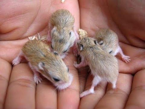 Ngăn hamster không ăn con của chúng