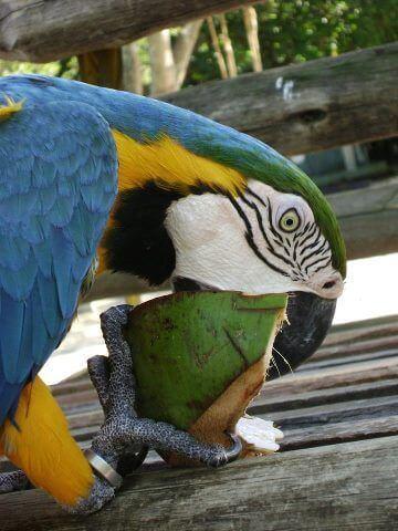 Vẹt Macaw đủ khỏe để cắn nát vỏ dừa