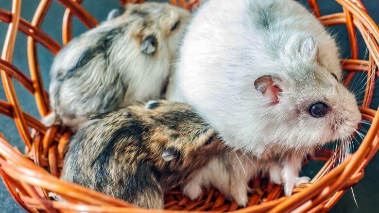 Vì sao hamster ăn con của chúng
