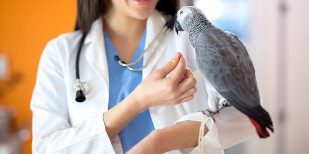 Điều trị phồng dạ dày tuyến ở vẹt