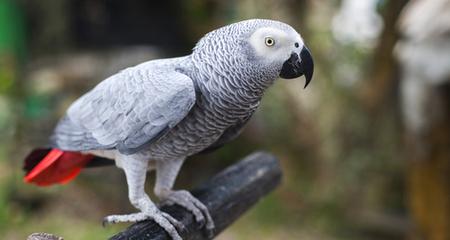 Một số chim nhiễm bệnh không có biểu hiệu đường tiêu hóa
