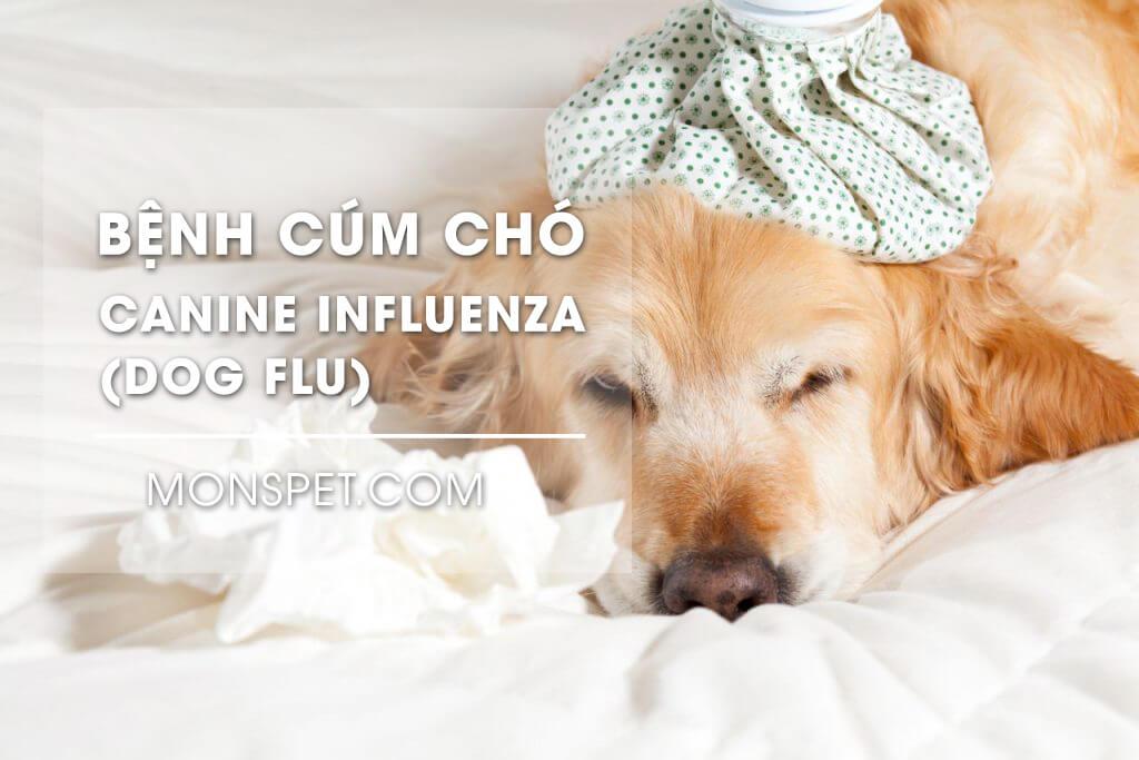 Canine influenza (Dog Flu) – Bệnh cúm chó