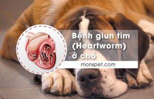 Bệnh giun tim (Heartworm) ở chó | Nguyên nhân, Dấu hiệu, Điều trị