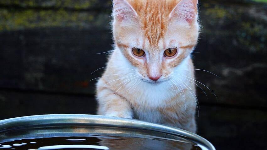 Mèo luôn đòi hòi bát nước của mình luôn sạch vì vậy một bát nước bị dơ cũng trở thành nguyên nhân mèo không chịu uống nước | Vì sao mèo của tôi không chịu uống nước?