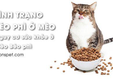 Tình trạng BÉO PHÌ ở Mèo | Nguy cơ sức khỏe ở mèo thừa cân