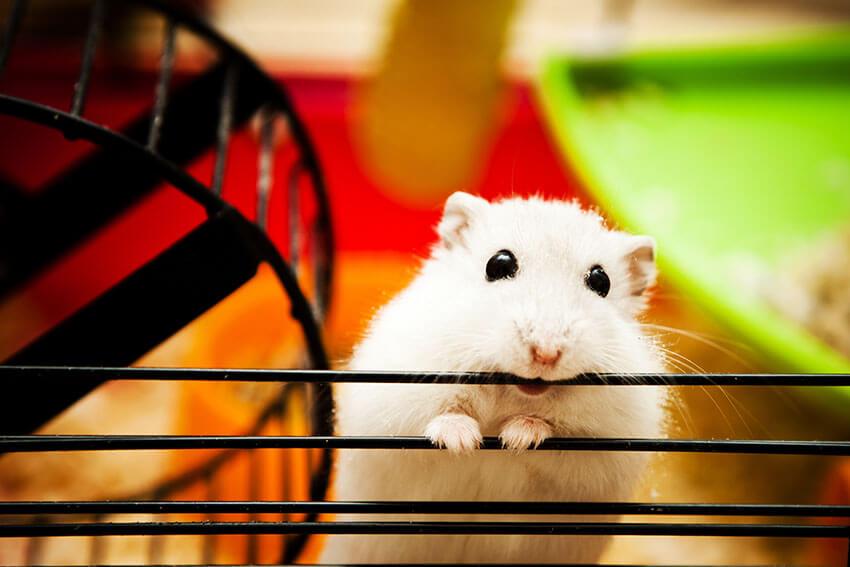 Ngặm nhấm lồng gây đau đớn cho Hamster | Bệnh thường gặp ở Hamster