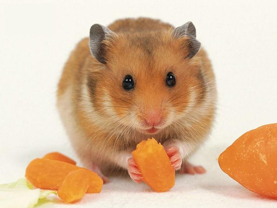 carot an toan cho hamster nhung nen cho an muc do vua phai vi de gay cho hamster bi beo phi