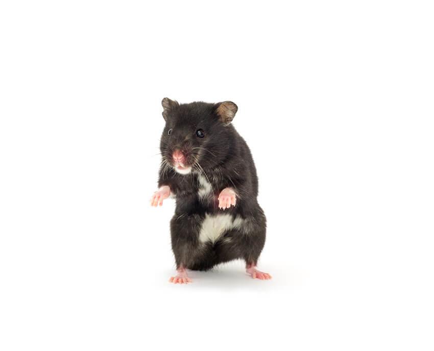 Hamster khỏe mạnh có đôi mắt sáng, không bị sưng, không tiết dịch | Bệnh thường gặp ở Hamster