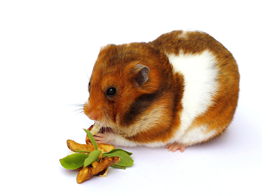 Hãy chắc rằng Hamster của bạn ăn chủ chất dinh dưỡng | Bệnh thượng gặp ở Hamster