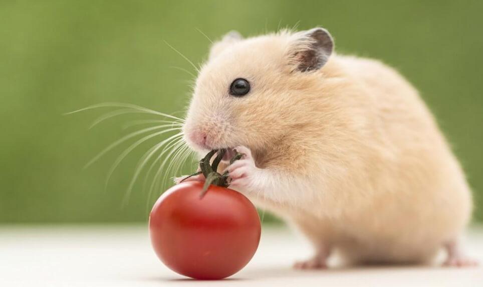 khong nen cho hamster an ca chua