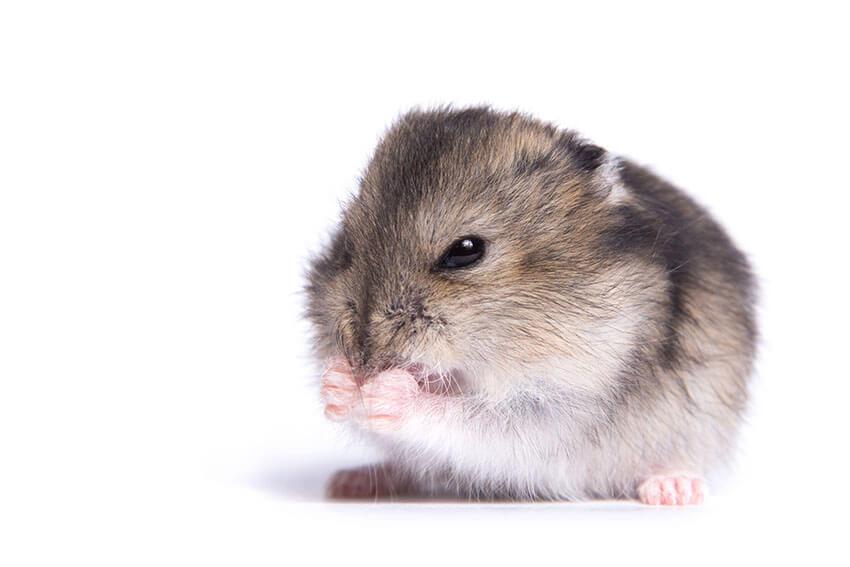 Theo dõi hơi thở của Hamster có bình thường không? Có thở khò khè không? | Bệnh thường gặp ở Hamster