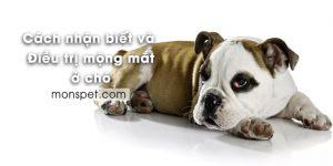 Cách nhận biết và Điều trị Mộng mắt ở Chó (Cherry Eye)