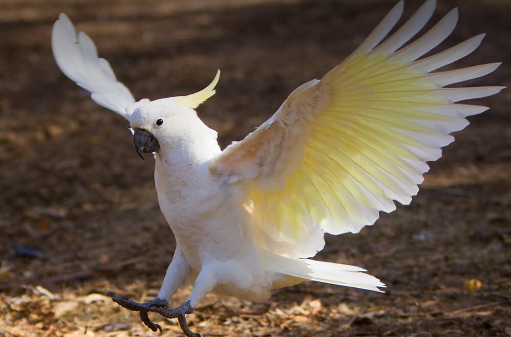 loai cockatoos la loai de bi nhiem san day cao nhat