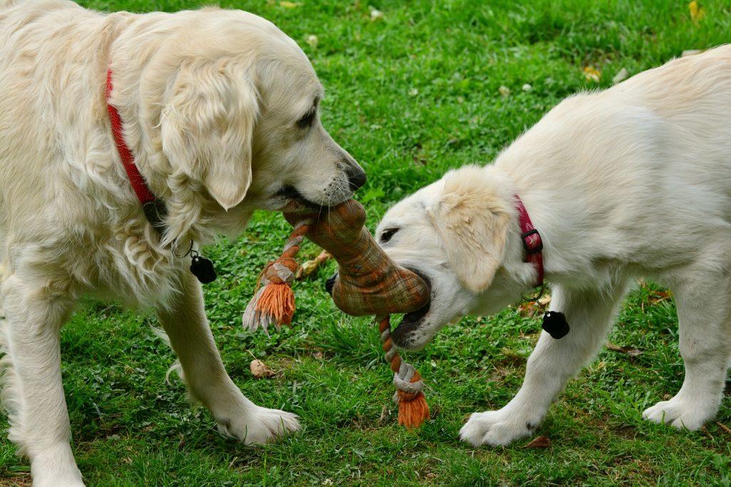 Tìm một đồ chơi kéo co tốt | Cách dạy chó cưng chơi kéo co (Tug-of-war)